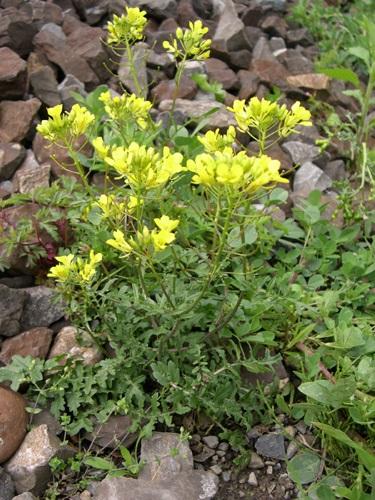 Moutarde des champs / Sinapsis arvensis