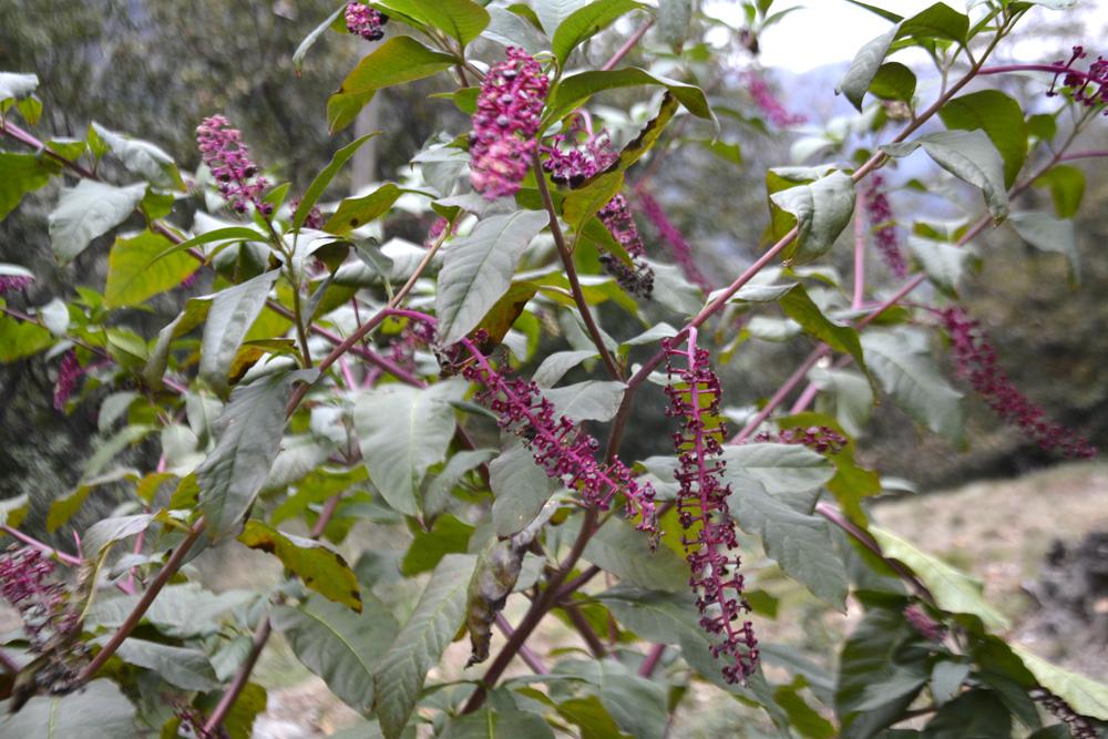 Cremesina uva turrca / Phytolacca americana