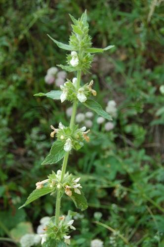 Marrubio comune / Marrubium vulgare