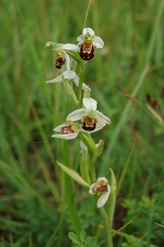 Ophrys abeille / Ophrys apifera