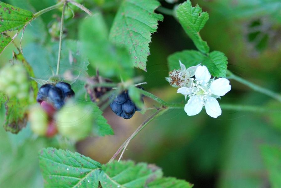 Ronce bleuâtre / Rubus caesius