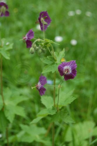Gewöhnlicher Braun-Storchenschnabel / Geranium phaeum