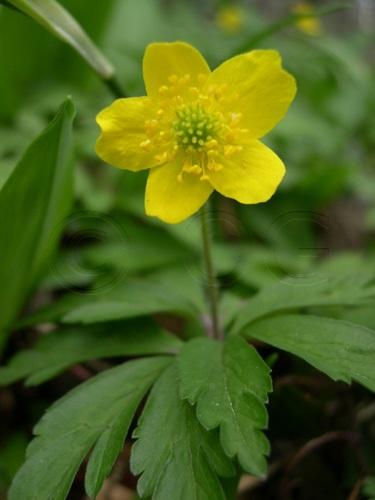 Gelbes Windröschen / Anemone ranunculoides