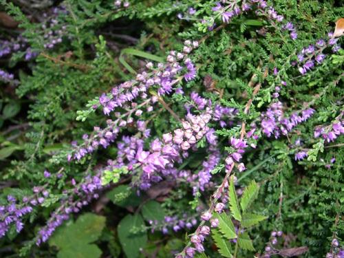 Winter-flowering Heath / Erica carnea