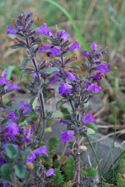 Acino annuale / Acinos arvensis