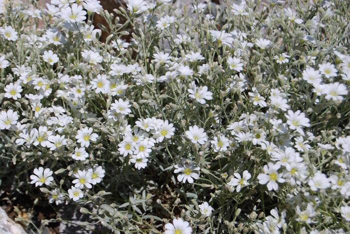 Filziges Hornkraut / Cerastium tomentosum