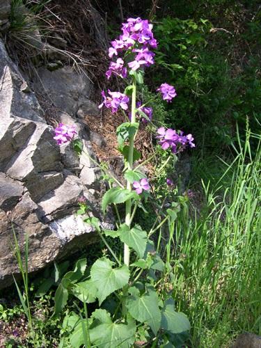 Garten-Mondviole / Lunaria annua