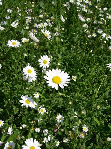 Oxeye Daisy, Marguerite / Leucanthemum vulgare