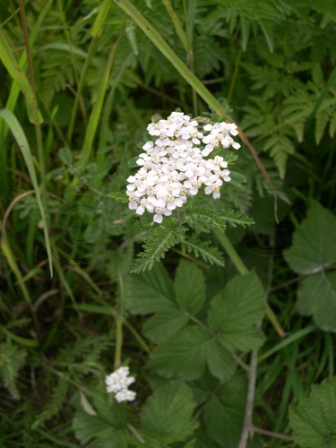 Wiesen-Schafgarbe / Achillea millefolium