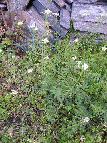 Gemeines Hirtentäschchen / Capsella bursa-pastoris