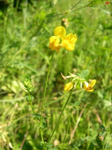 Gewöhnlicher Hornklee / Lotus corniculatus