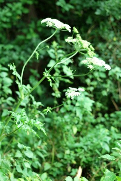 Gewöhnlicher Wiesen-Bärenklau / Heracleum sphondylium ssp. sphondylium