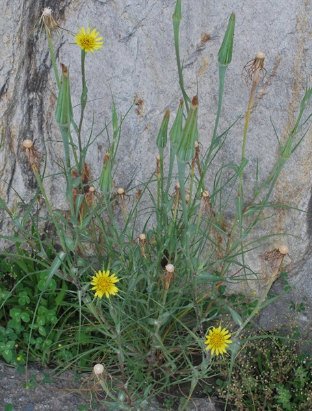 Grosser Bocksbart / Tragopogon dubius