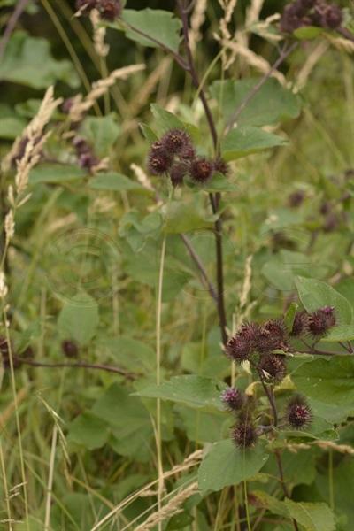 Lesser Burdock / Arctium nemorosum
