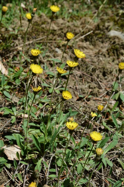 Langhaariges Habichtskraut / Hieracium pilosella