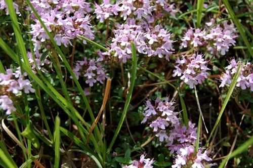 Langstängliger Thymian / Thymus longicaulis