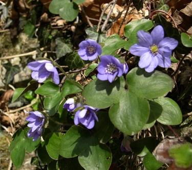 Liverleaf / Hepatica nobilis