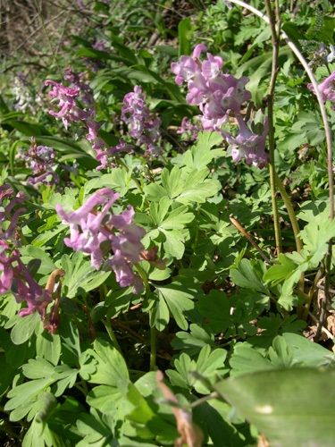 Hollow-root / Corydalis cava