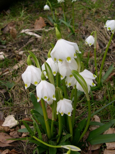 Nivéole du printemps / Leucojum vernum