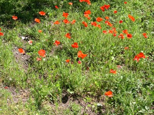 Pavot douteux / Papaver dubium ssp. lecoquii