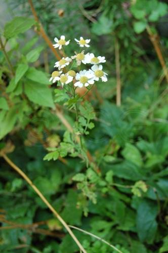 Tanaisie matricaire / Tanacetum parthenium