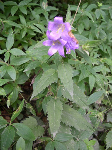 Nesselblättrige Glockenblume / Campanula trachelium