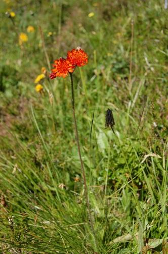 Orangerotes Habichtskraut / Hieracium aurantiacum