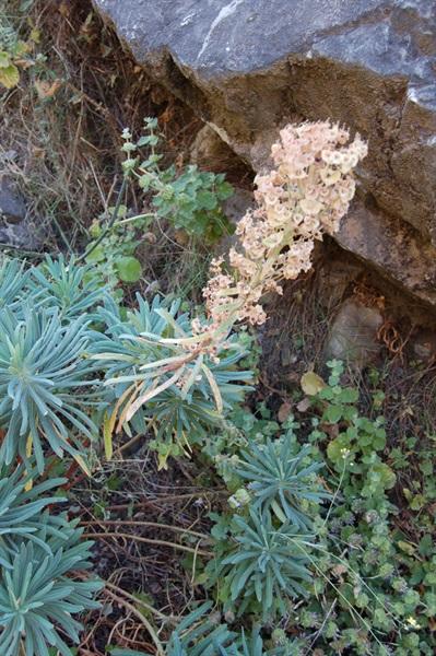 Mediterranean Spurge / Euphorbia characias