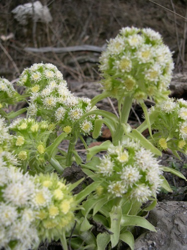 Pétasite blanc / Petasites albus