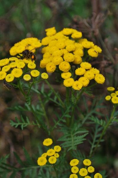 Tansy / Tanacetum vulgare