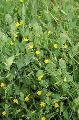 Gesse sans feuilles / Lathyrus aphaca