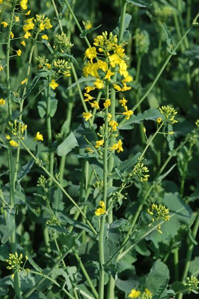 Colza / Brassica napus