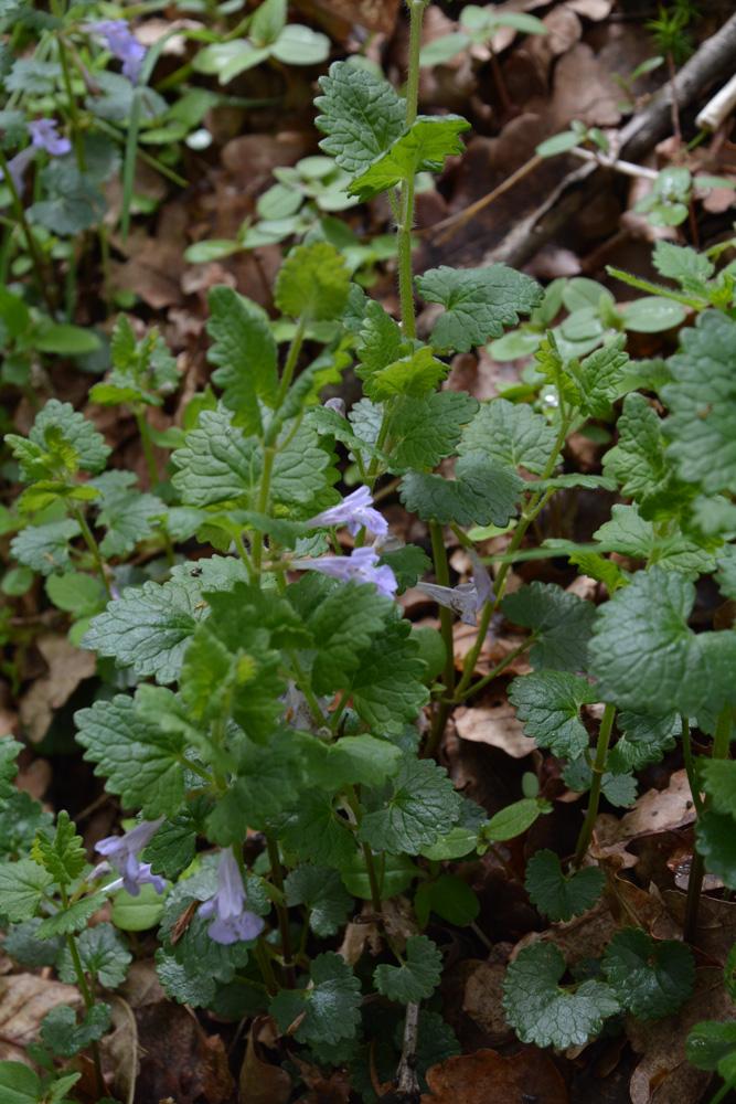 Rauhaarige Gundelrebe / Gelchoma hederaceae subsp. hirsuta