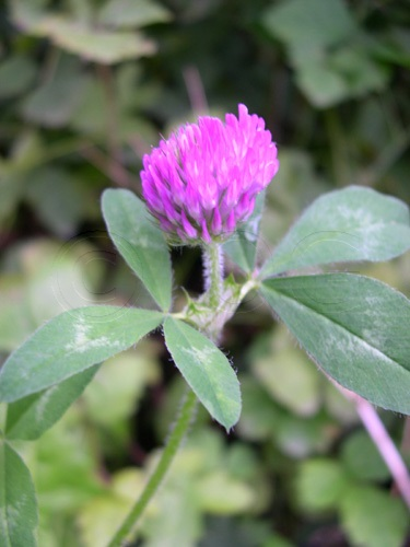 Rotklee / Trifolium pratense