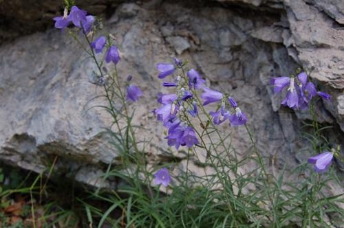 Rundblättrige Glockenblume / Campanula rotundifolia