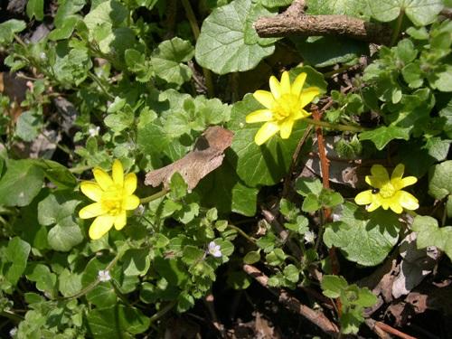 Ficaire / Ranunculus ficaria