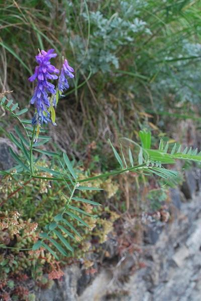 / Vicia cracca ssp. tenuifolia