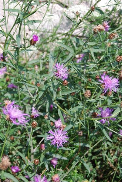 Schmalblättrige Wiesen-Flockenblume / Centaurea jacea ssp. augustifolia