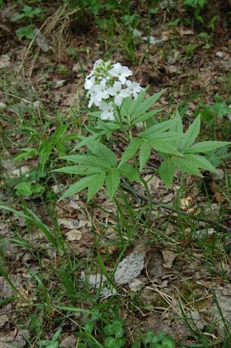 Siebenblättrige Zahnwurz / Cardamine heptaphylla