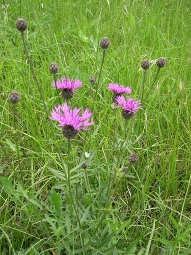 Skabiosen-Flockenblume / Centaurea scabiosa