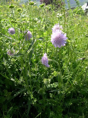 Scabieuse colombaire / Scabiosa columbaria