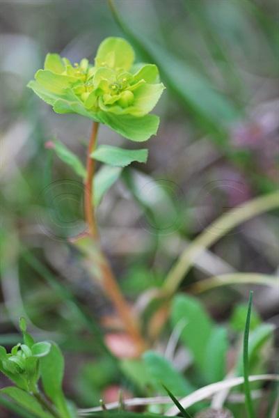 Euforbia calenzuola, Erba verdona / Euphorbia helioscopia