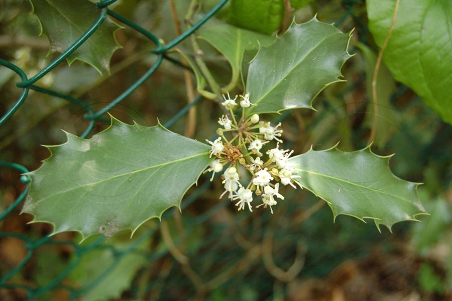 Stechpalme / Ilex aquifolium