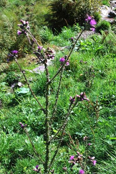 Sumpf-Kratzdistel / Cirsium palustre