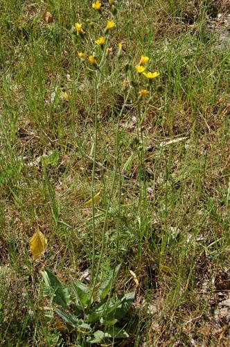 Epervière en grappe / Hieracium racemosum
