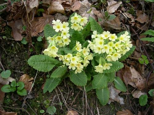 Primevère élevée / Primula eliator