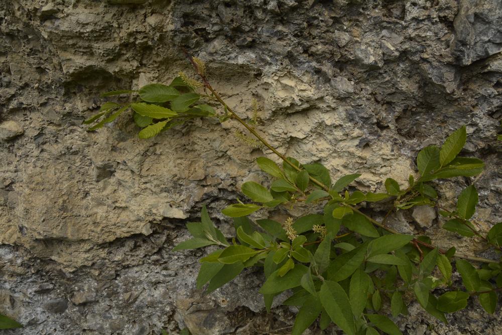 Waldsteins Weide / Salix waldsteiniana