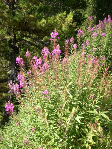 Rosebay Willowherb / Epilobium angustifolium