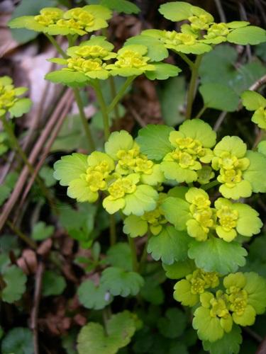 Wechselblättriges Milzkraut / Chrysosplendium alternifolium