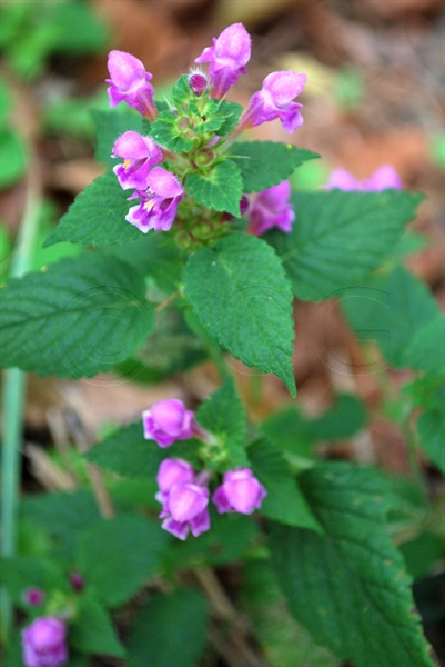Downy Hemp-nettle / Galeopsis pubescens